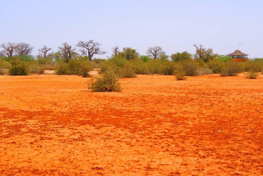 Vue de la foret de baobabs, en avant plan, l'observatoire