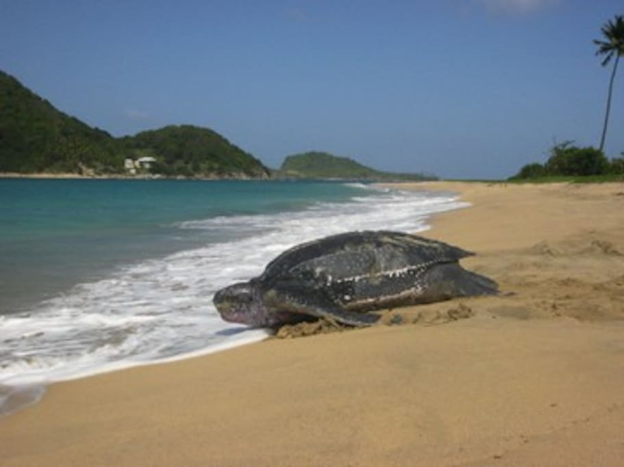 Levera beach only minutes away and home to the Leatherback turtle.