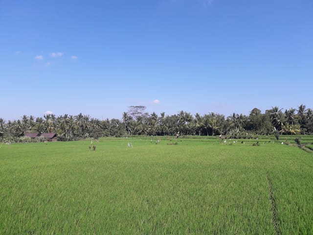 Houses located in the rice field