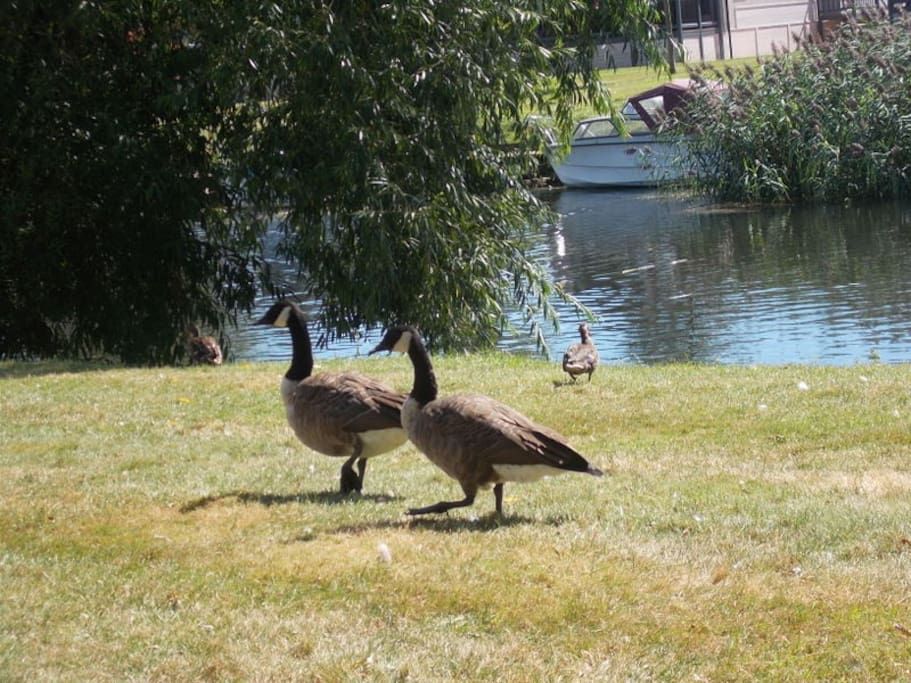 Geese on the River Avon just outside the front door of the Lodge.
