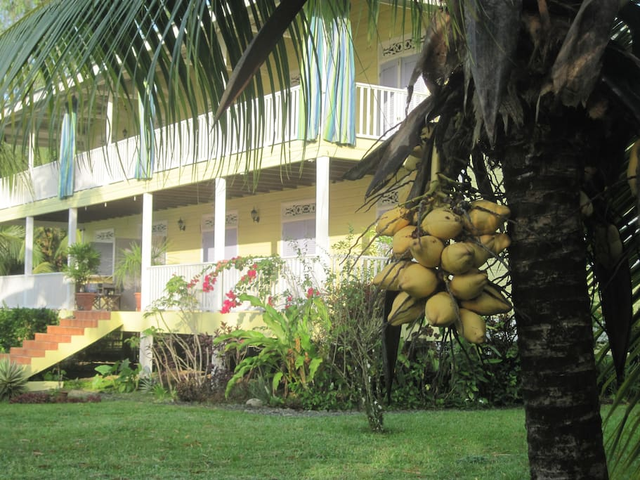Lots of coconuts on our property for a refreshing drink of agua de pipa