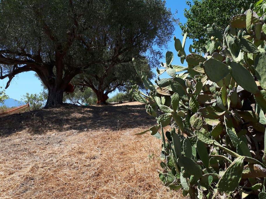 Olivenbäume und Kakusfeigen