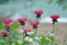 Bee balm provides guests with mint tea summer and fall.