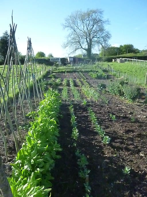 Our field of organic veges.