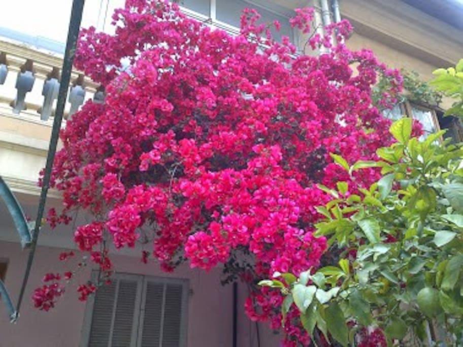 Le bougainvillier lors de sa floraison / Bougainvillier in summer