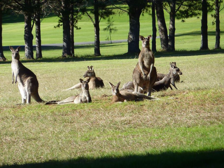 Get to see kangaroos roaming freely