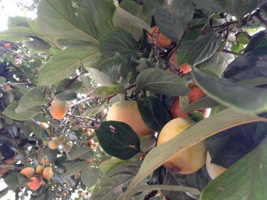 Fruto orgânico sua época de colheita é na estação do Verão entre os meses de Janeiro e Fevereiro.