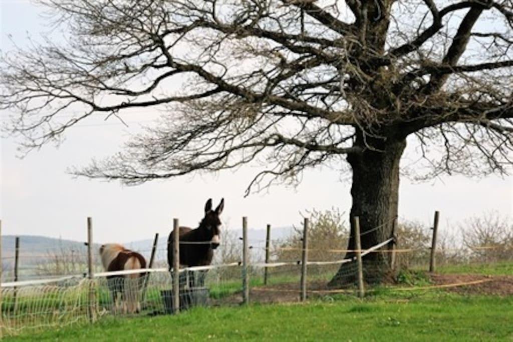 l'âne et le poney de la maison