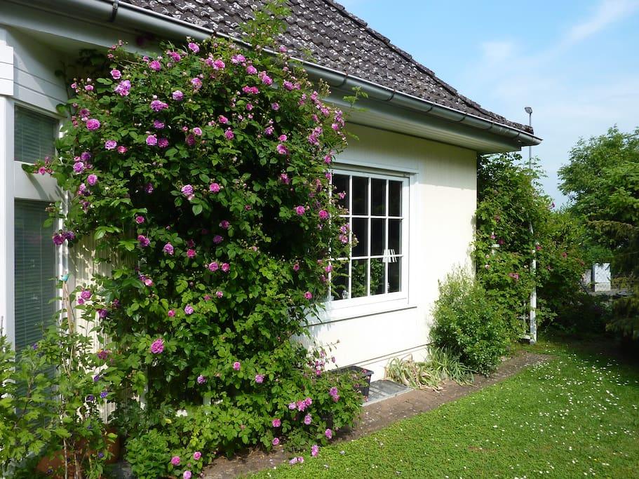 Gartenansicht mit Rosenstöcken und Wintergarten