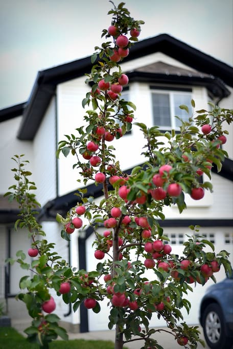 Crab apple tree. Feel free to have the kids collect them is they want to play with them