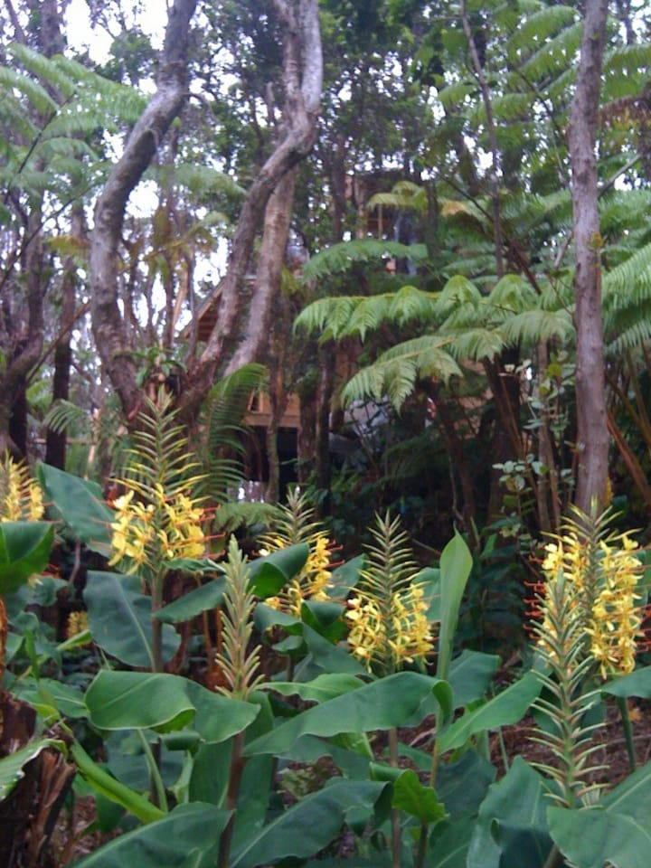 ginger in bloom at treehouse