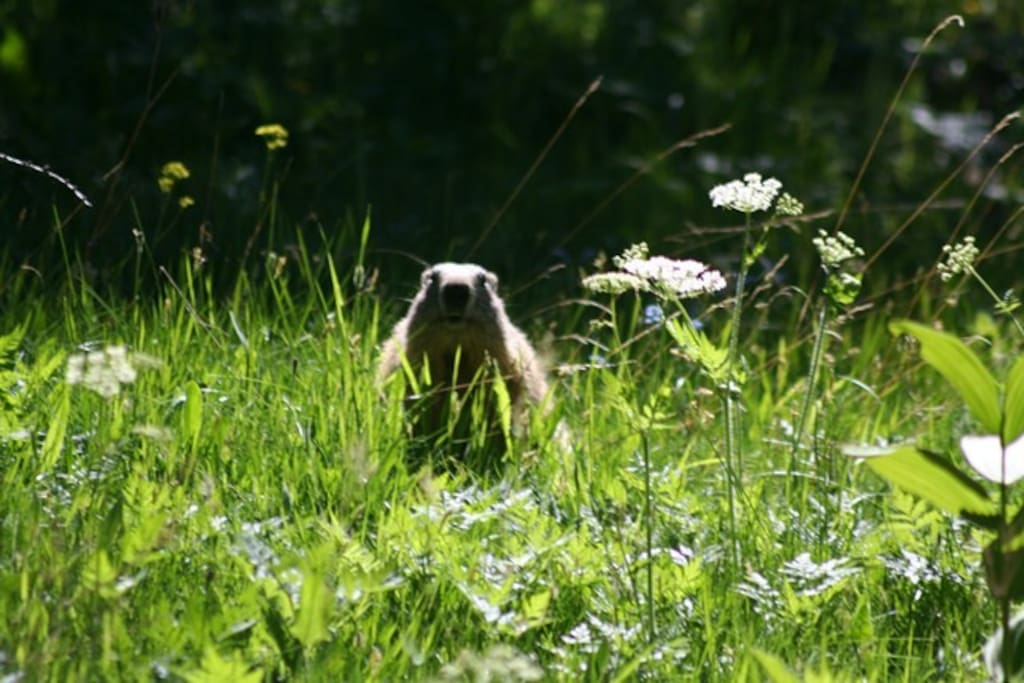 An encounter with a marmot. In the summer you can often hear their distinctive whistles in the valley.