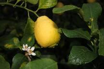 citron de menton, plantation exploitée sur la propriété