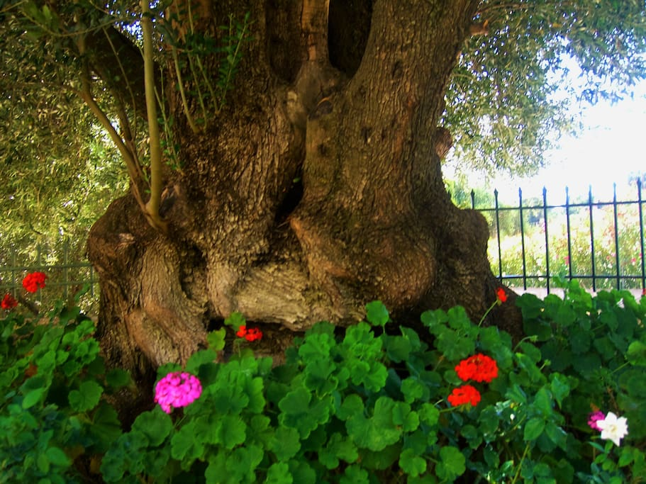 The 500-year-old olive tree at the front garden