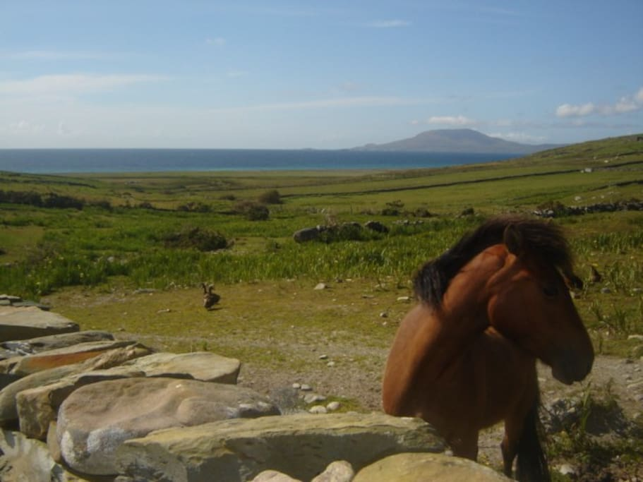 Our Connemara pony May Flower the back drop is Clare Island