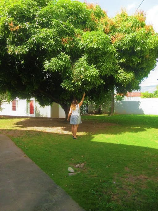 A guest picking some mangoes from the tree in the courtyard