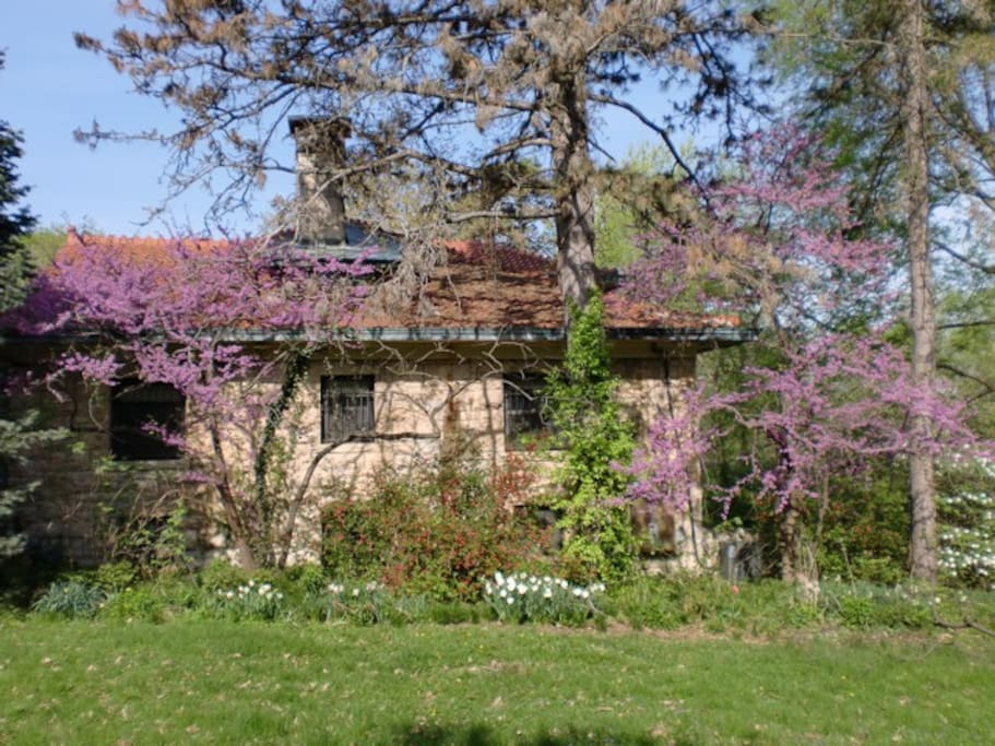 Side yard with redbuds in bloom