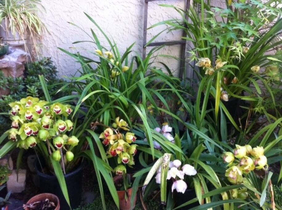 Flowering Cymbidiums of assorted colors in Spring.