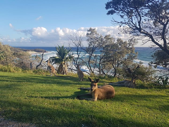 Kangaroos at the point in the morning