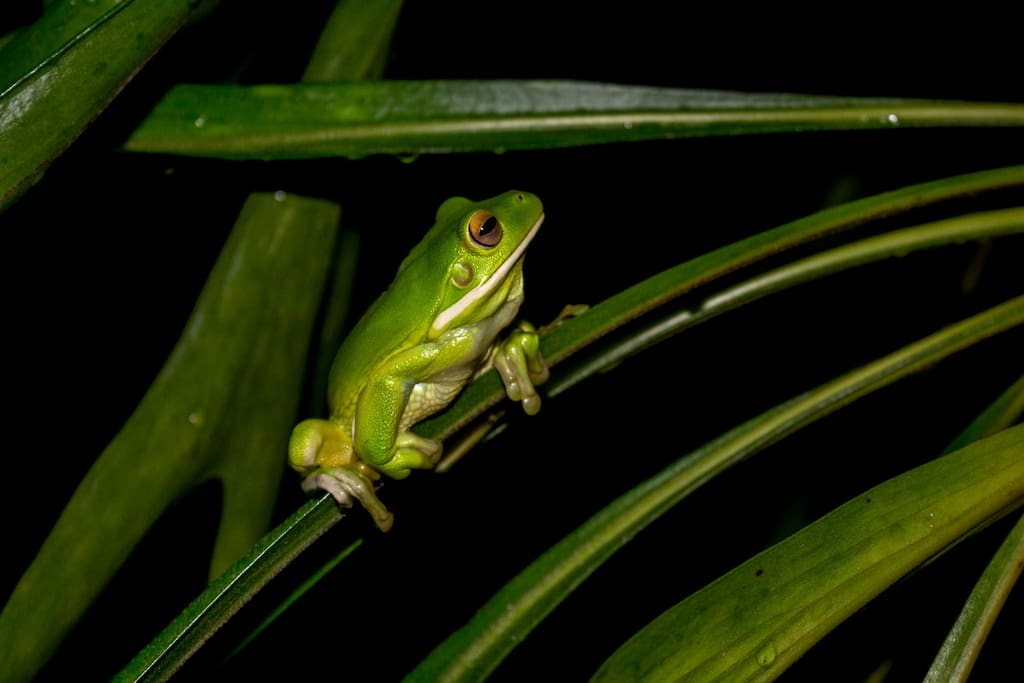 Freddo lives in an elkhorn fern on our verandah and emerges in the evening to dine.  He is a White Lipped Tree Frog native to the rainforests around Palm Cove.