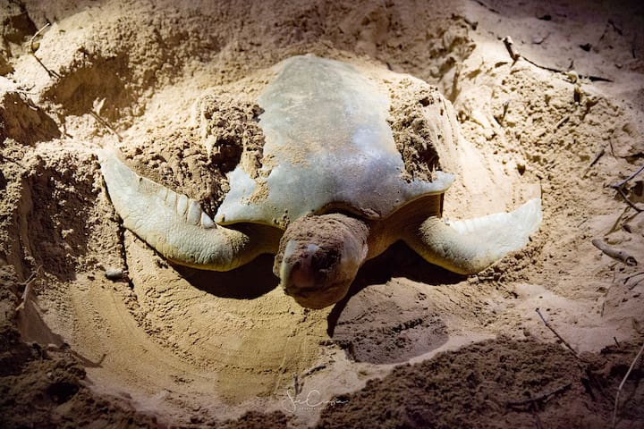Explore our beaches.  Flat-backed turtles are regular nesters here