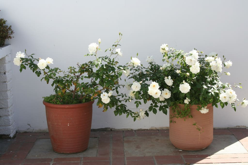 Roses in courtyard
