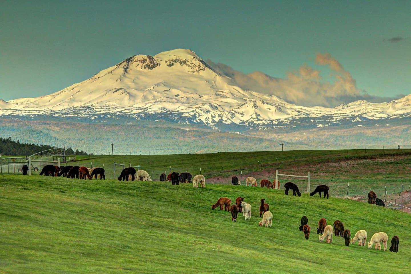 This is the view from our backyard of the Three Sisters and our alpacas in Terrebonne, Oregon