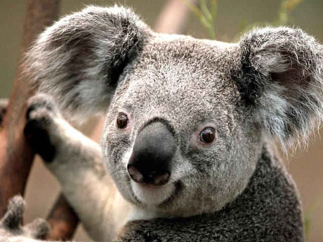 Look up trees and often you will be rewarded with seeing a koala.