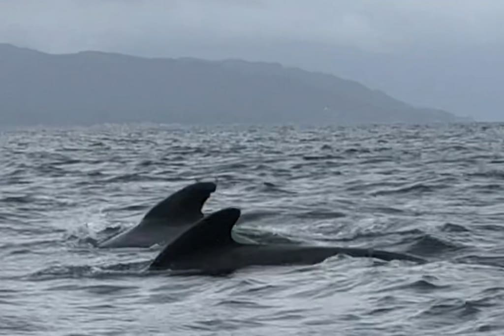Pilot whales in the fjord - photo taken by guests in August 2018