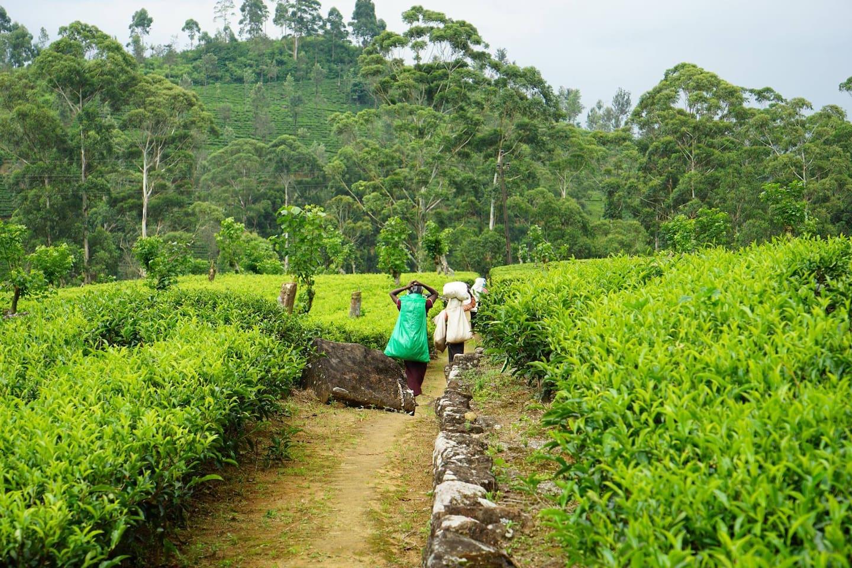 Around my place tea   plantation view