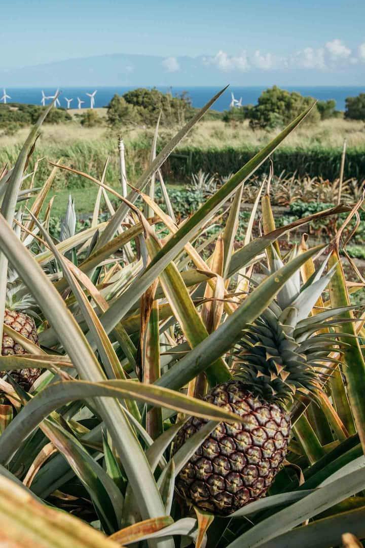 Pineapples Galore