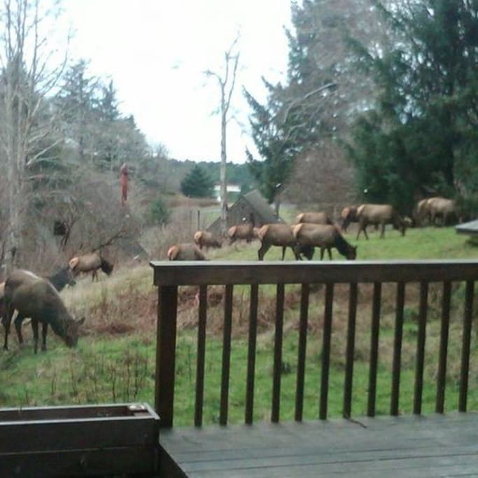 Elk in the front yard