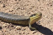 Blue-tongued Lizard - soaking up the rays on one of the trails in the NP