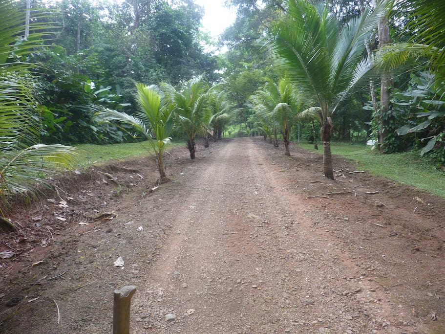 Inside road to house with palms lining road