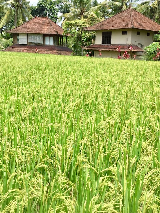 Both HOUSES SOLO N SHAKTI ARE LIKE SISTERS  BY THE RICE FIELDS  FACING THE JUNGLE