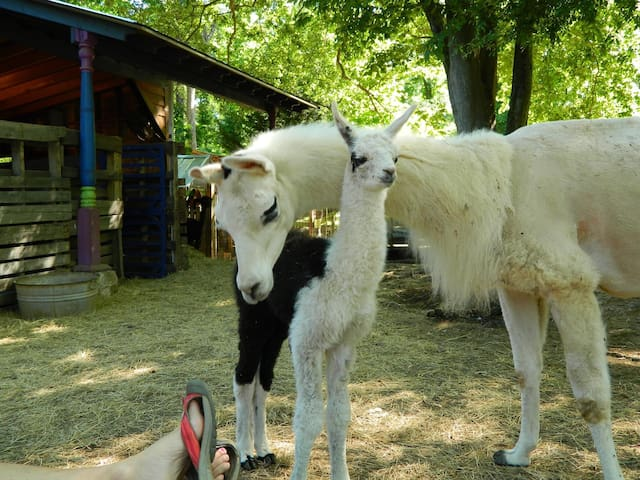 Dali Llama wraps her neck around her baby boy,  Prince Pogo Cassius. He was born on May 8, 2017 at 28 lbs.  At 8 months of age, he went to live at his new home at Wit's End Llama Consortium.