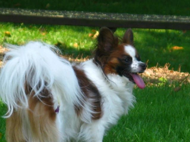 My beautiful Papillon Billy who was born on 11th April 2001...and died on 19th January,  2018...RIP my sweet companion and friend.