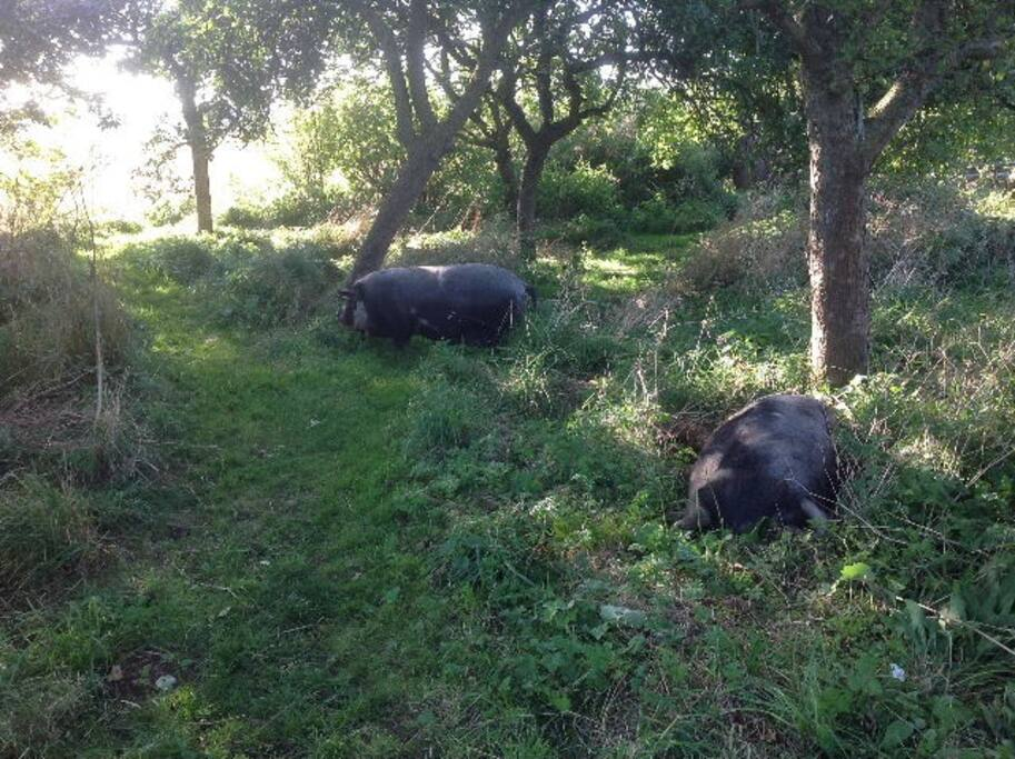 Visiting friendly pigs