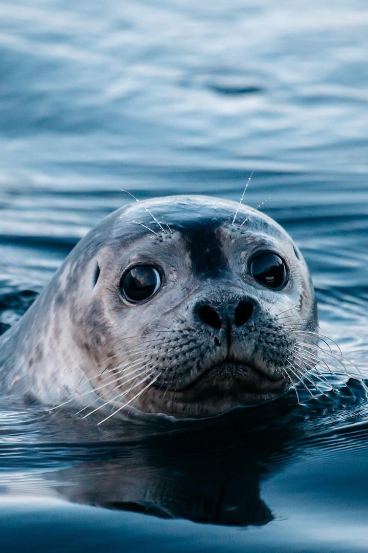 Snorri the seal is very curious