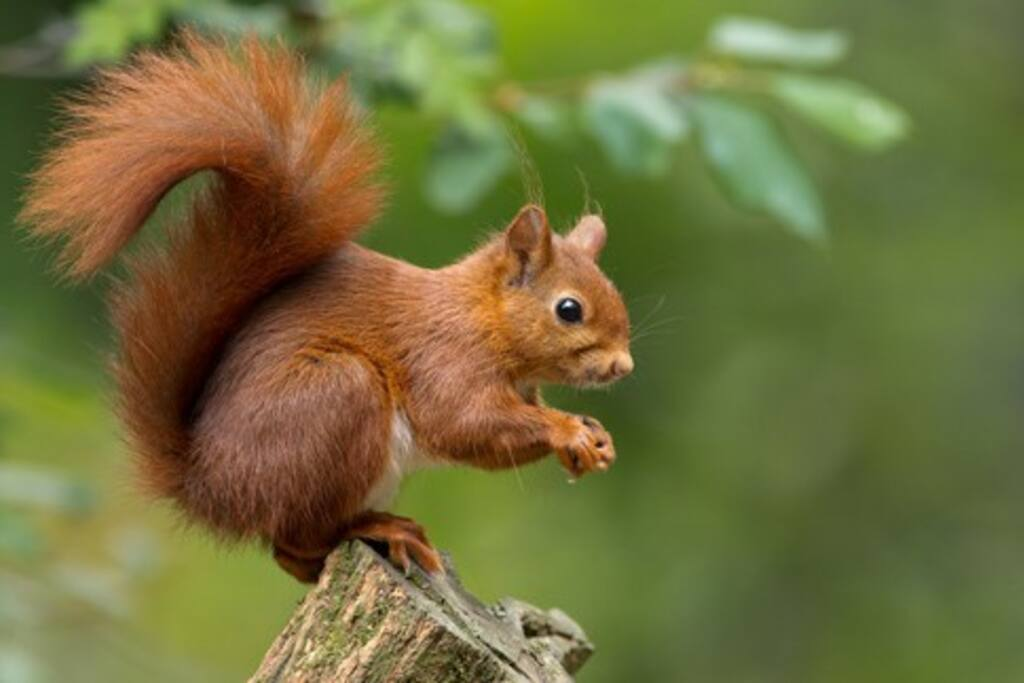 Red squirrel spotting