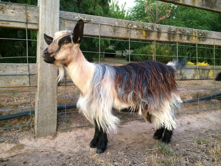 Full grown miniature Pygmy goat