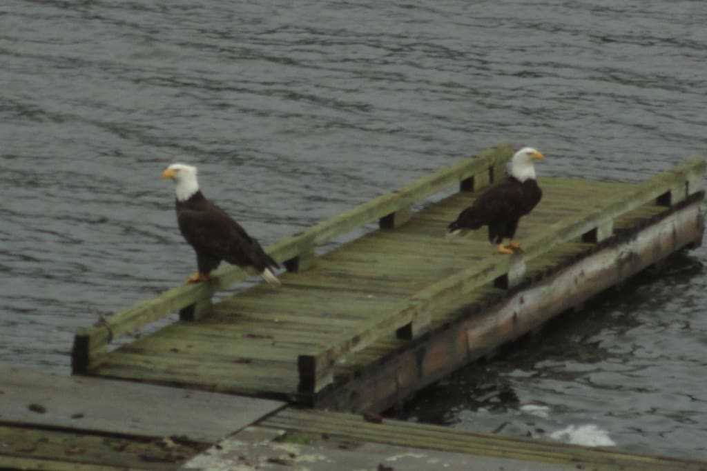 Bald  Eagles are home now to rear its young and they create a lot of drama in the Bay...