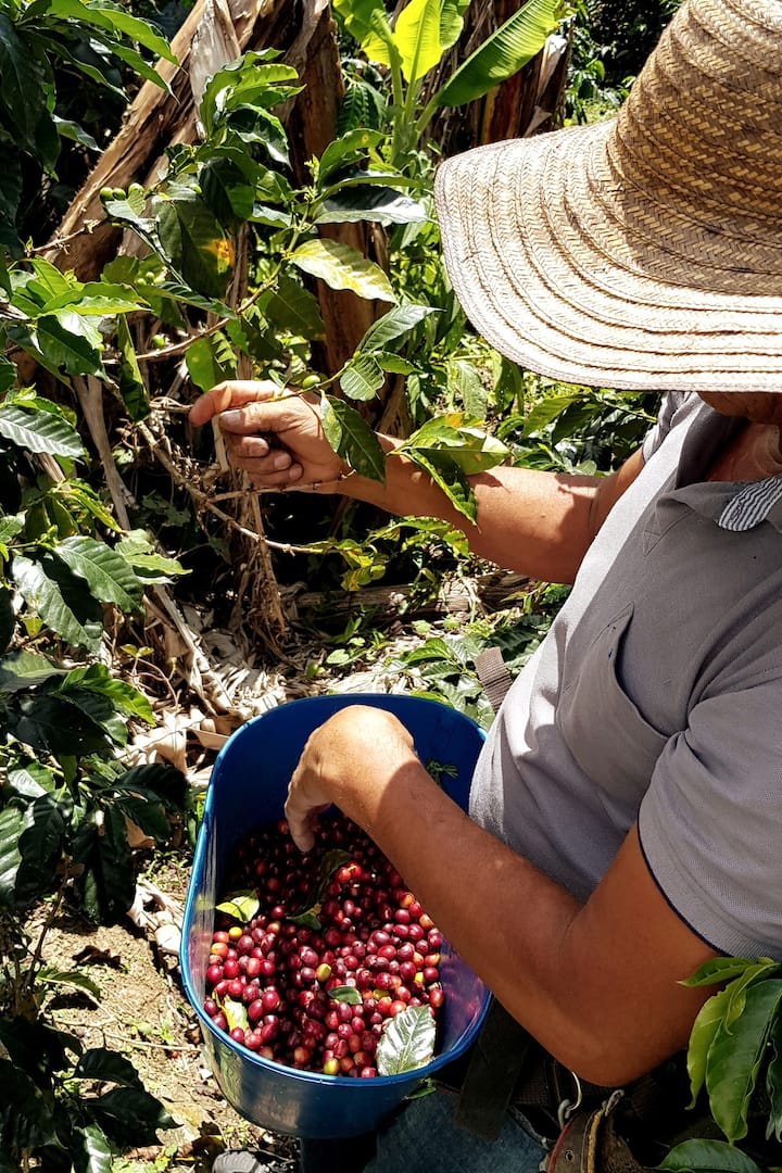 I will show you how to harvest coffee