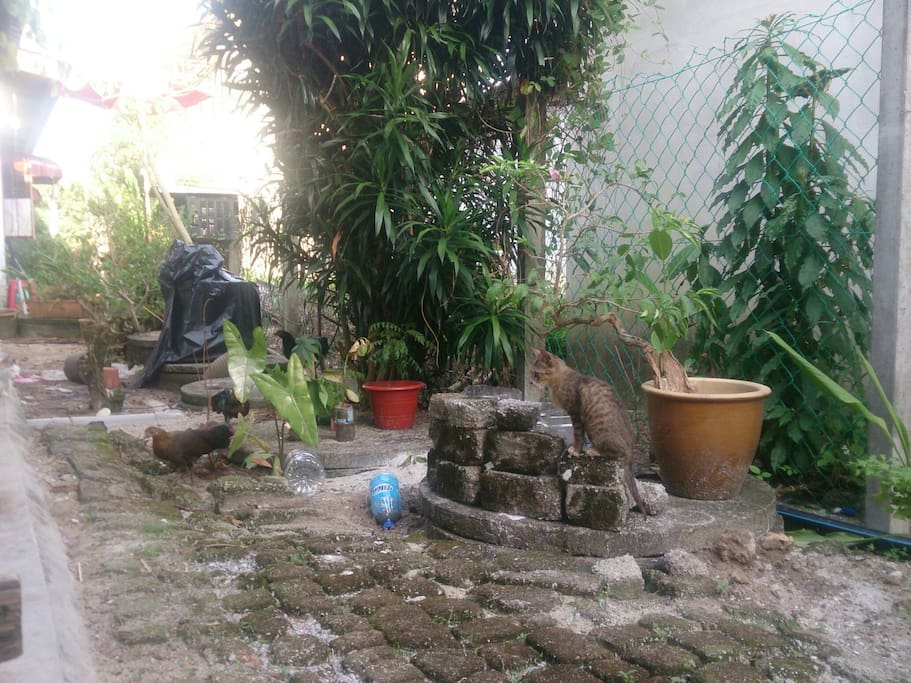 lively backyard with local chicken and cats