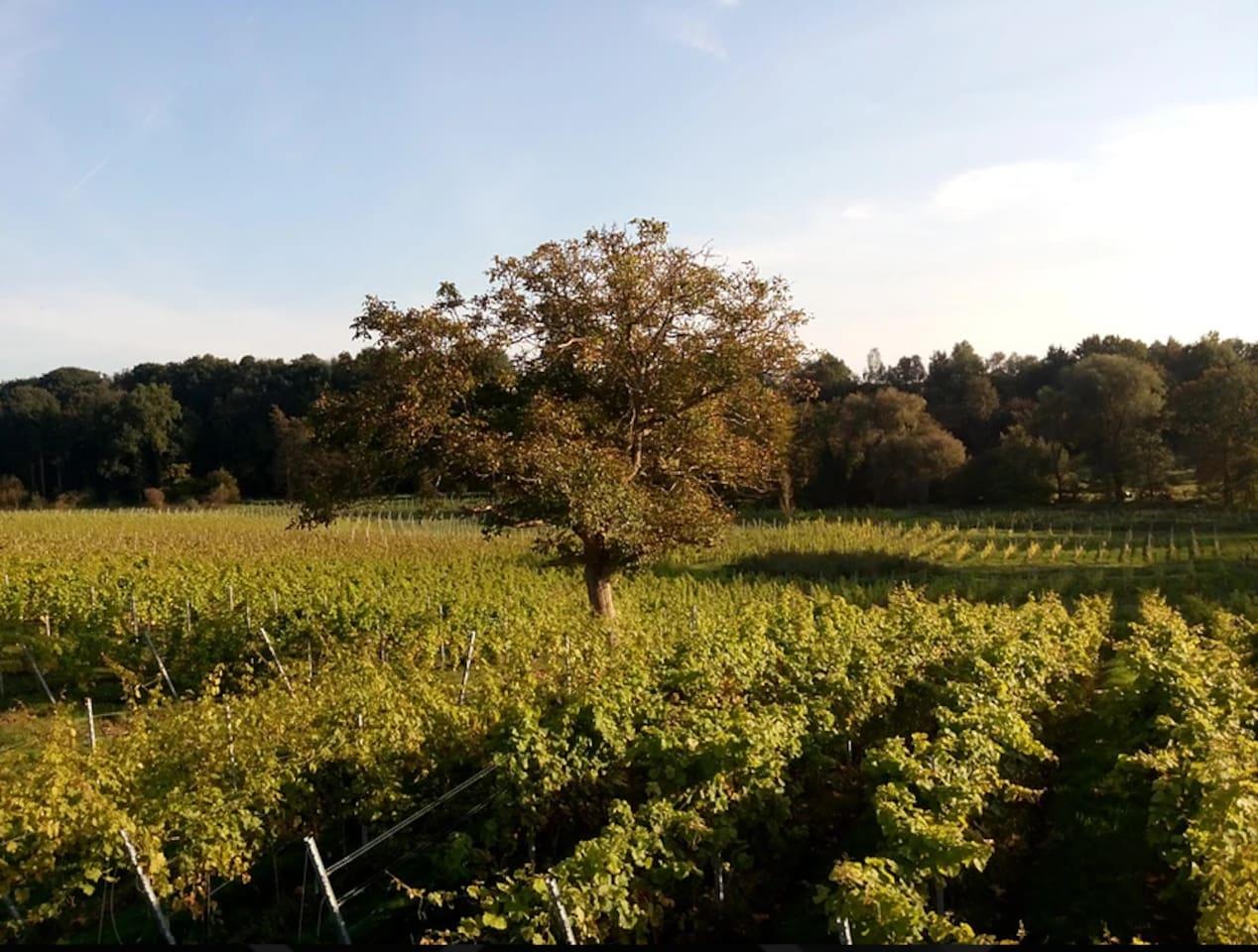 Le vignoble de 10 hectares à 50 m de la chambre