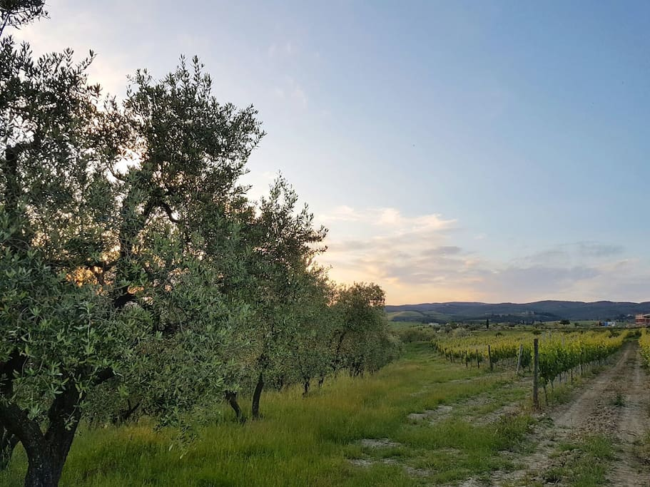 Our olive groves and vineyards. Perfect little neighbours!