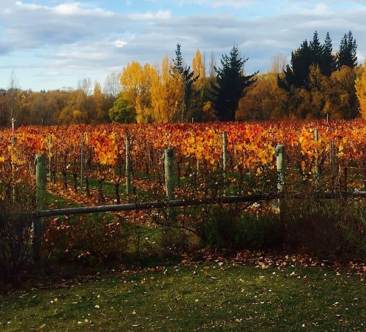 Autumn at Legacy Vineyard