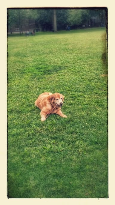 Shelby little bear mosses. She is an  8 year old Golden Retriever and has more friends than me ; yes she is that friendly!!!