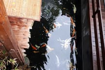 Calm down our mind by enjoy our colorful Koi fish