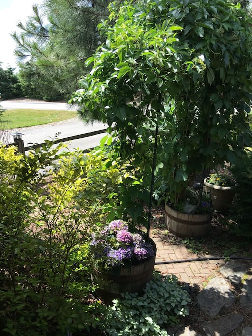 Beautiful front courtyard complete with arbor and blackberries.